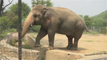 大象搭機搬新家 盼最孤獨象不孤單