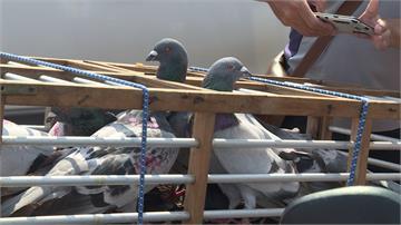 百年活動「義竹賽鴿笭」 鴿子背「九四仔」比勇