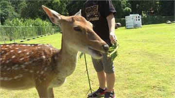 台版「奈良公園」!嘉義梅花鹿園區開放餵鹿