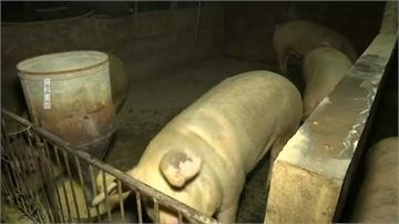 印尼爆發豬霍亂疫情!逾2萬7000頭豬隻死亡