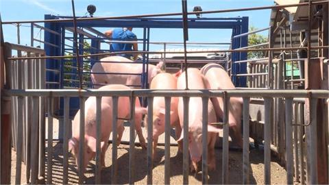 中國官員:非洲豬瘟出現新毒株 防控形勢很複雜
