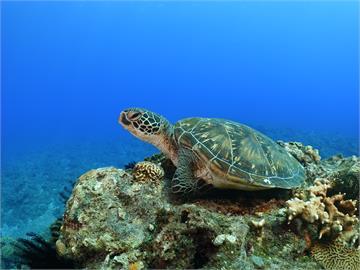 史上最大量!小琉球海龜自行解封 空拍「單日805隻」破紀錄