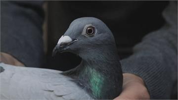 歐洲賽鴿市場大 飼主賣出200多隻賽鴿2億6000萬台幣納入口袋