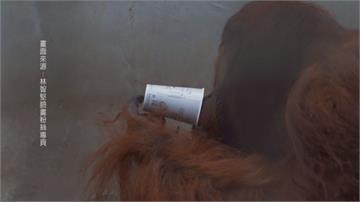 紅毛猩猩「雄大」入贅北市6年追不到女友...回新竹動物園過年