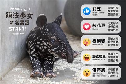馬來貘寶寶命名「貘花豆」大幅領先 視網膜為催票喊「獲勝吃香菜」!