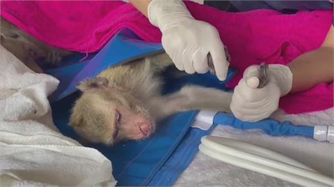泰國查獲百餘隻走私獼猴 搭野戰醫院緊急救援
