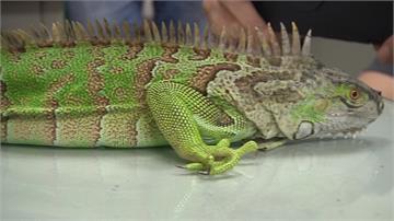 民眾棄養、繁殖力強 綠鬣蜥破壞在地生態