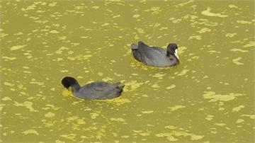 鰲鼓溼地疑被偷排畜牧廢水 危及水鳥生存