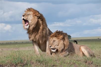 印度遭受「武肺海嘯」淹沒!連萬獸之王也遭殃 動物園8頭獅子確診