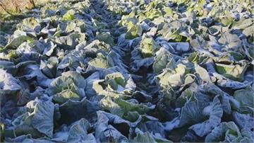 來自雪地的甜味!防凍傷轉化體內澱粉 雪藏高麗菜冰封後更美味