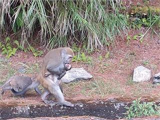 兒遭撞亡!猴母抱屍生活多日不願放下