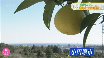 神奈川特產「湘南黃金」好貴!創意料理拚銷量
