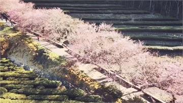 國光武陵賞櫻專車加贈櫻花口罩! 拚載客衝一波  專車到3月1日截止
