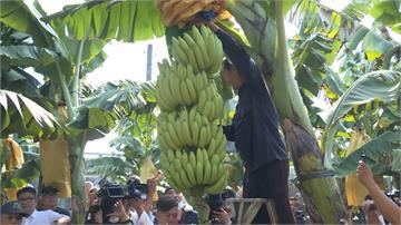 政府補貼保費、降低自付額 農委會力推「香蕉保險」保障蕉農