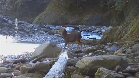 南投信義丹大溫泉水鹿遭獵殺8具鹿屍都沒頭!獵人噴漆大紅字「到此一遊」