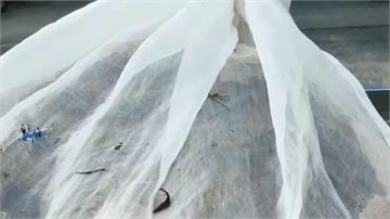 黑腹虎頭蜂凶猛虎頭蜂之一 夏末秋初虎頭蜂活躍季節小心!