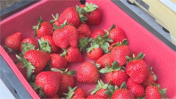 雨少日夜溫差大產量激增 大湖草莓上市!遊客吃吃吃...酸酸甜甜滿臉都是幸福