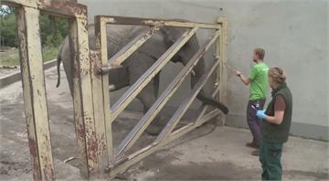首領過世後其他大象陷焦慮 波蘭動物園用大麻油助解壓