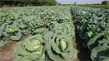快新聞/11月上旬高麗菜種植量「爆紫燈」 農糧署籲勿盲目跟種:現在價格不等於採收時價格