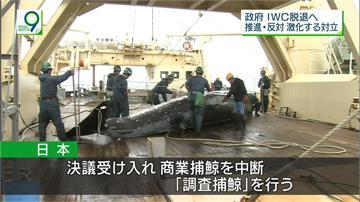 生態震撼彈!日本不排除重啟「商業捕鯨」
