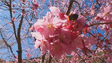 有史以來最好花況!武陵櫻花季有望「大爆發」