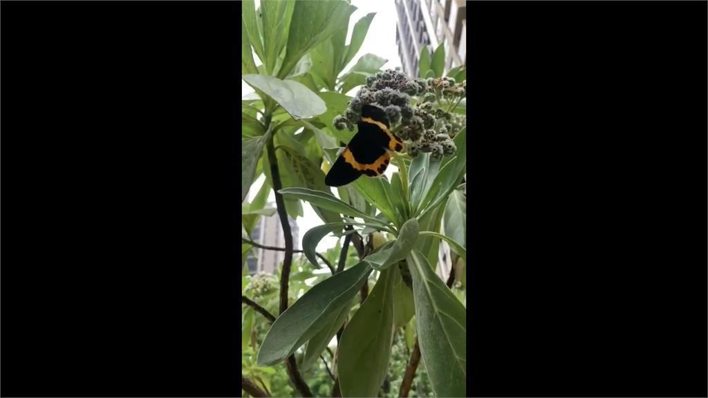 外來種「橙帶藍尺蛾」入侵住家 住戶不堪其擾