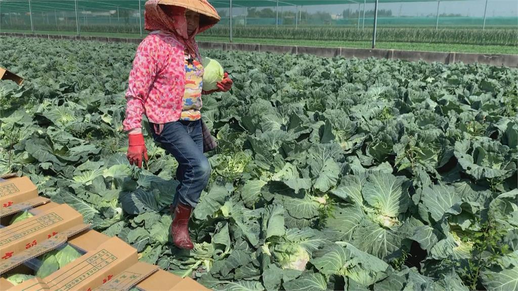 台灣農產外銷再突破 高麗菜進軍中東杜拜