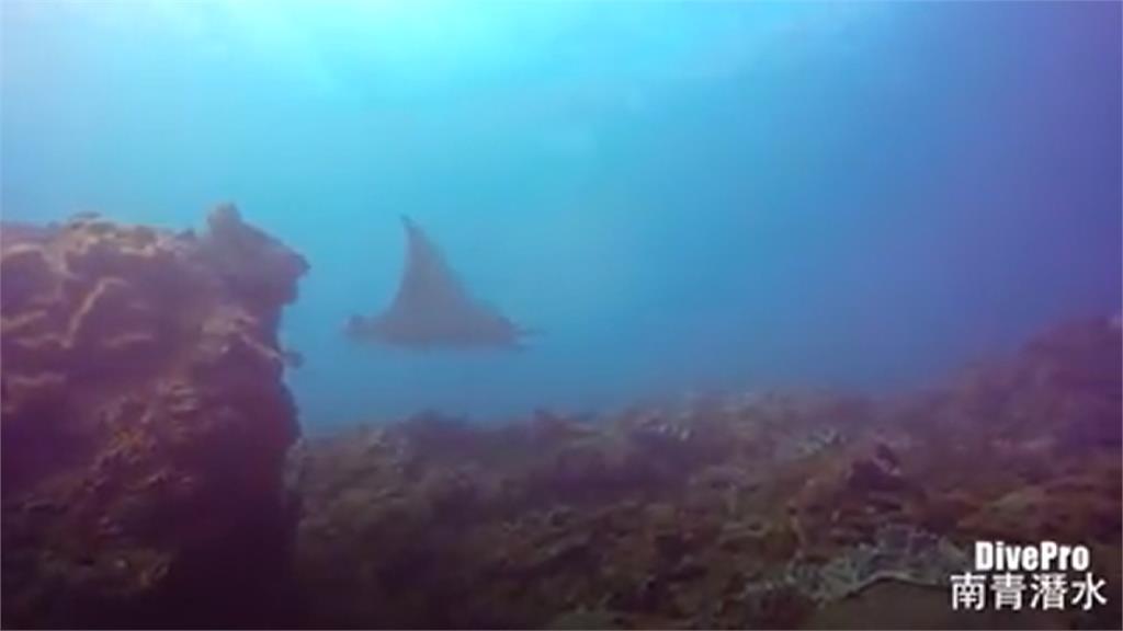 保育類魔鬼魟被濫捕?漁民澄清:是日本蝠魟