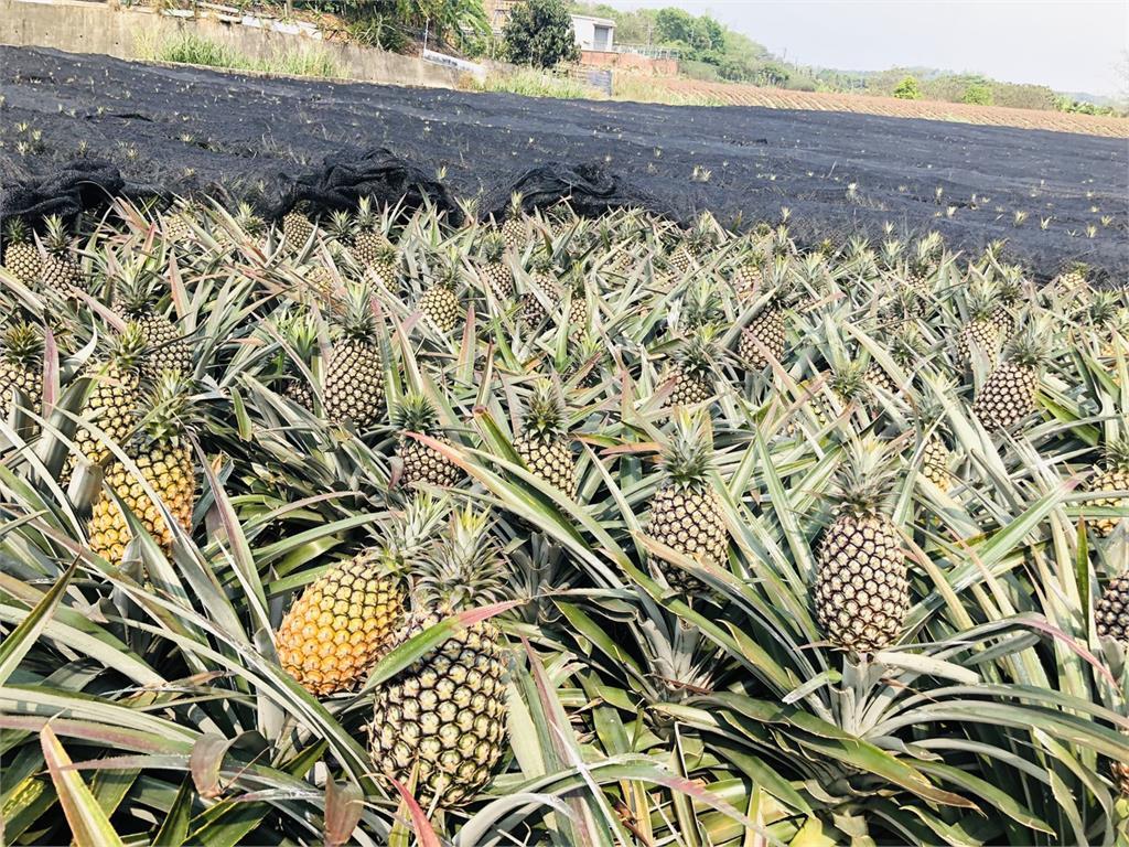 快新聞/中國佔台灣鳳梨外銷市場9成 農委會祭10億元穩定鳳梨產地價