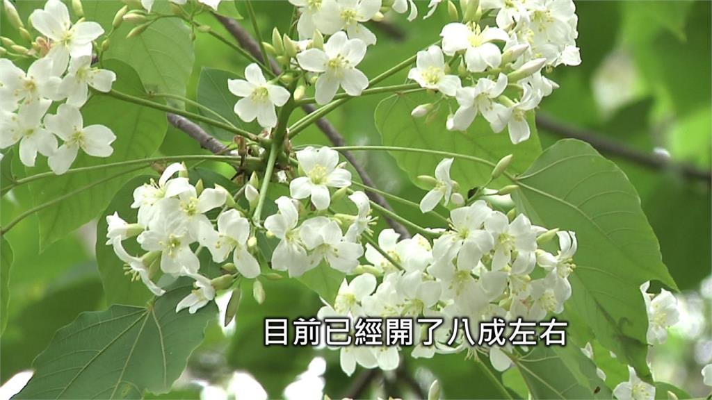 雲林「荷苞山桐花」 4月桐花季搶先開跑