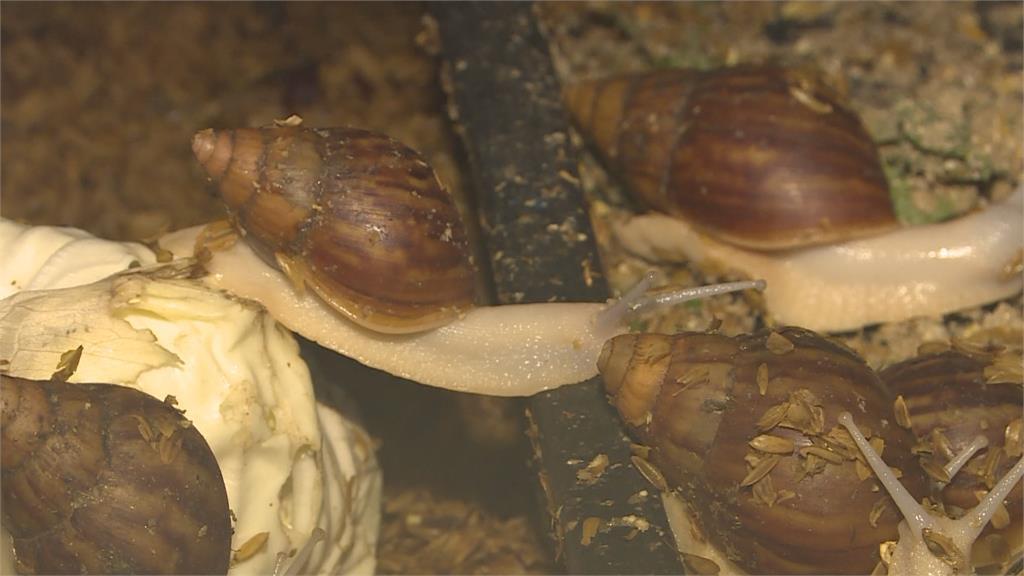 螺肉其實是「非洲大蝸牛」帶寄生蟲、狂嗑作物 農民眼中釘