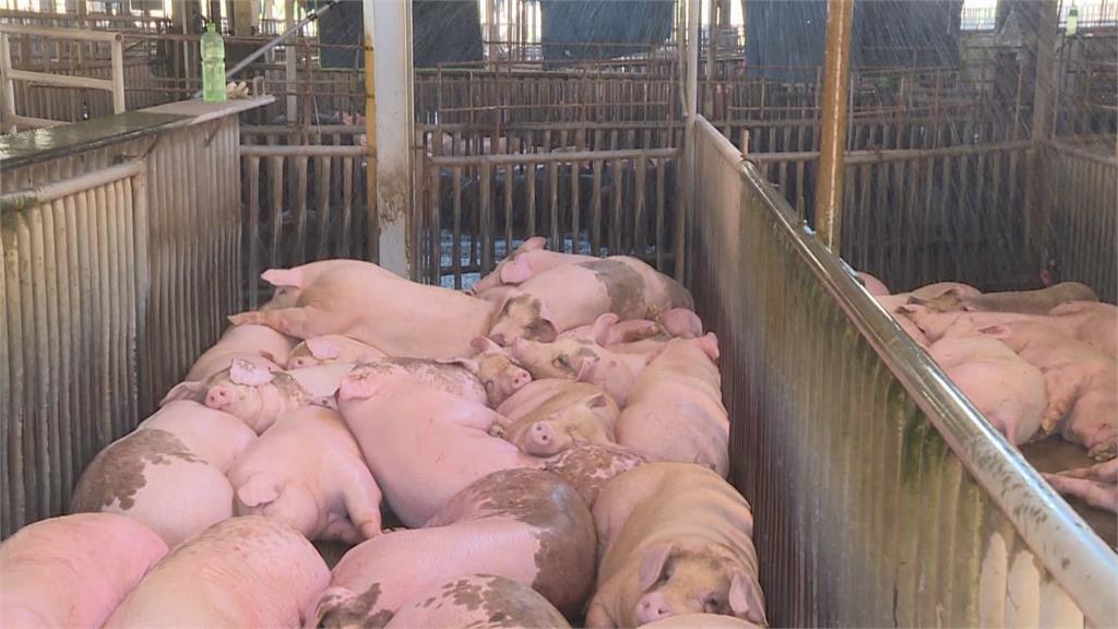 保障豬農與食安!5月1日起豬隻死亡保險全面納保