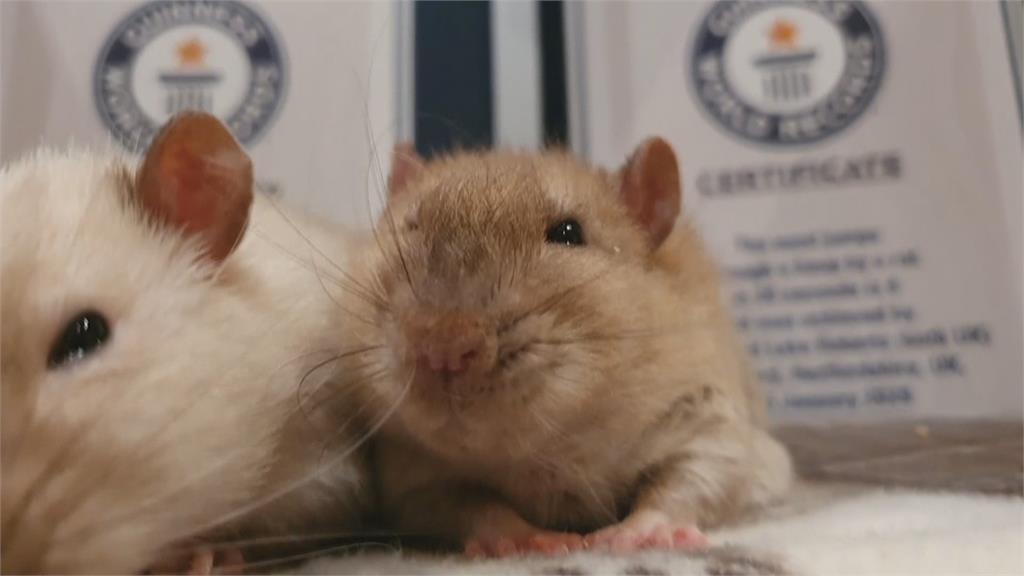 擊掌最多次寵物鼠、最迷你公車司機 2021金氏世界紀錄大全揭曉