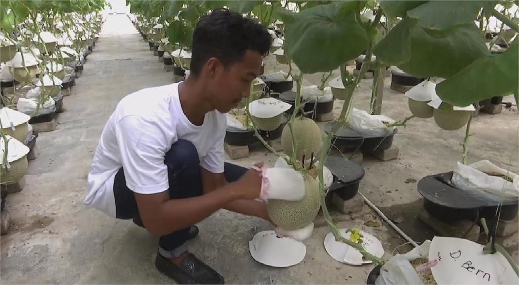 馬來西亞嬌養哈密瓜 一顆賣超過1000台幣