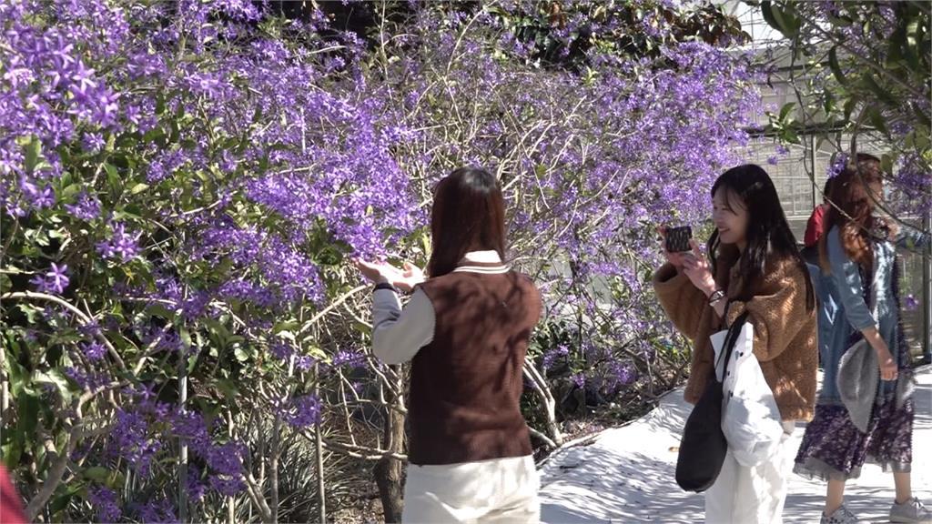 紫色花串瀑布 農場浪漫氛圍網路瘋傳!