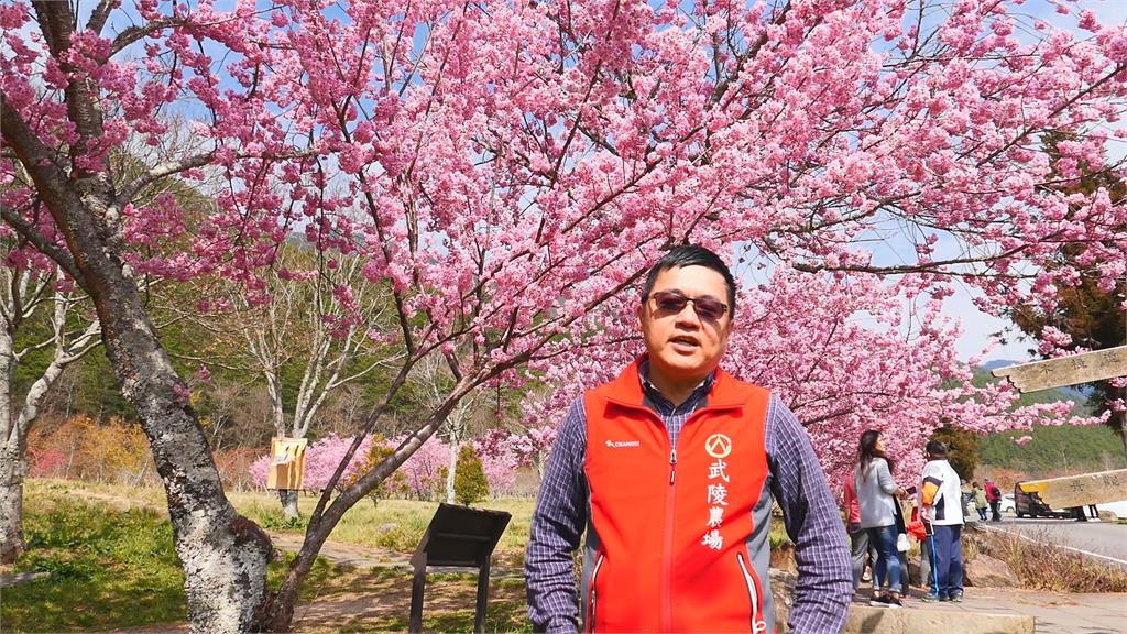 誇張! 武陵賞櫻人潮多 遊客竟學猴子爬樹拍照