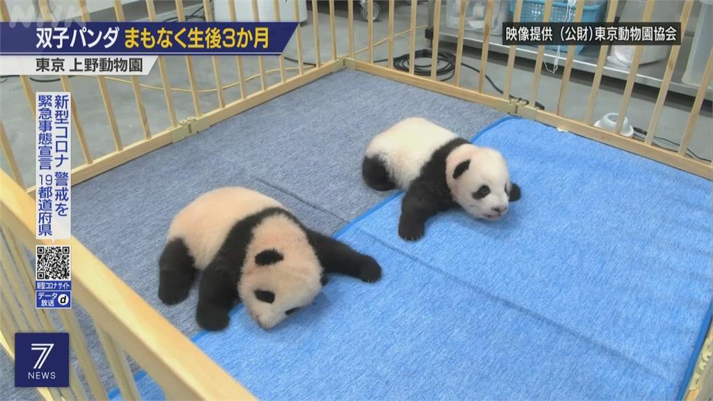 萌翻!日本上野動物園 貓熊龍鳳胎長牙了