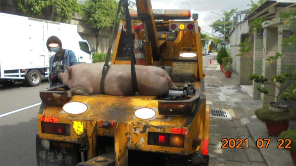 流浪小豬國道遊蕩 後方汽車閃避險撞上