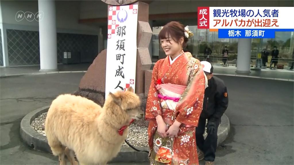 日本成年禮驚見「草泥馬」!可愛羊駝喜當接待員