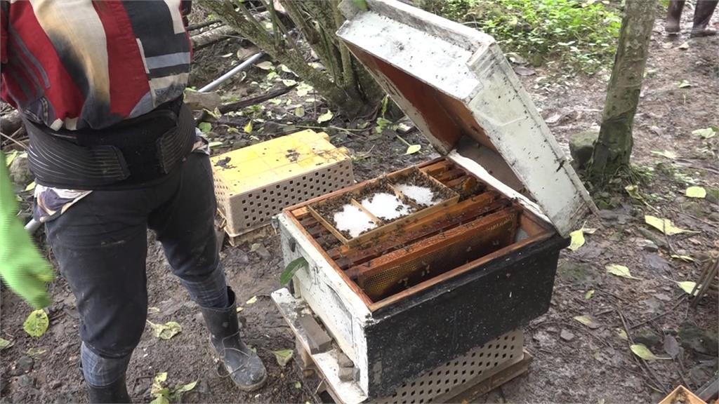 南投埔里蜜蜂群大量暴斃  疑檳榔樹噴農藥有關
