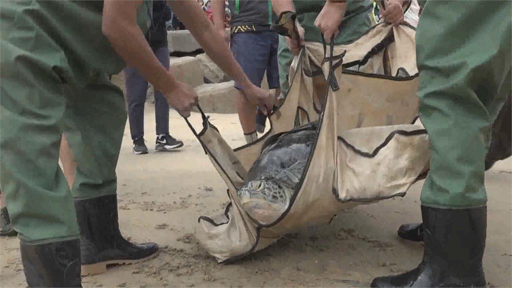 金門擱淺綠蠵龜康復 成功海灘野放重返大海