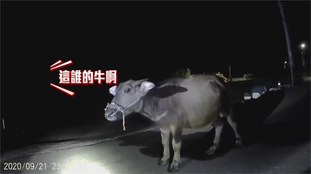 牽繩斷偷溜!農家水牛暗夜睡路邊警「挨家挨戶找飼主」順利回家