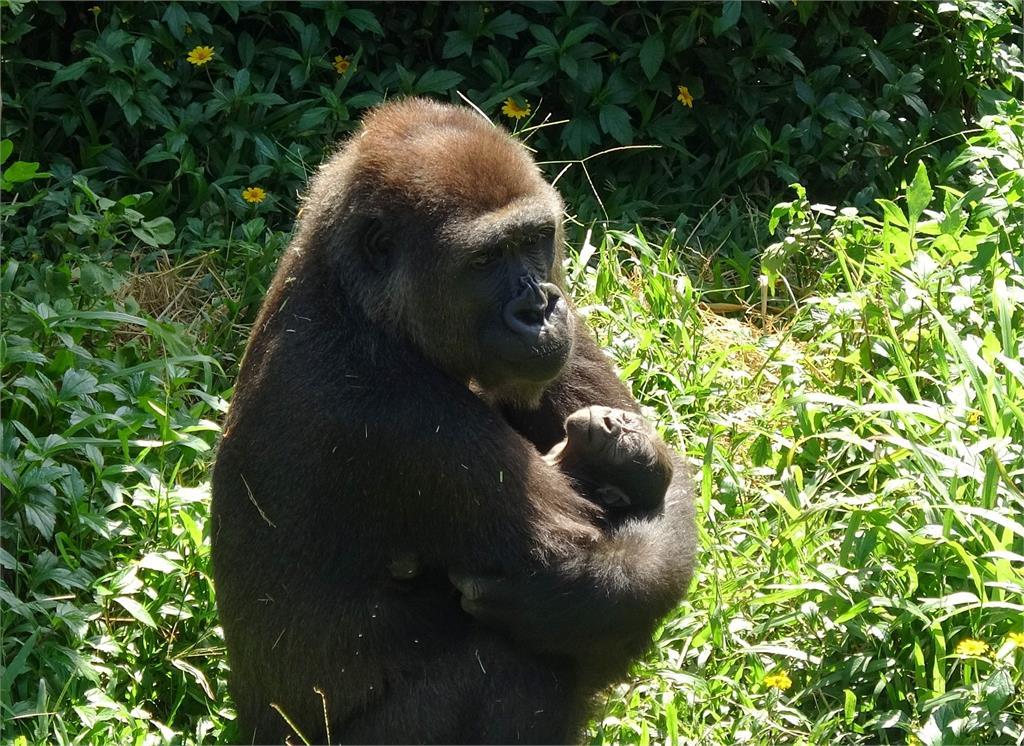 快新聞/台荷保育合作! 木柵動物園金剛猩猩首度產仔