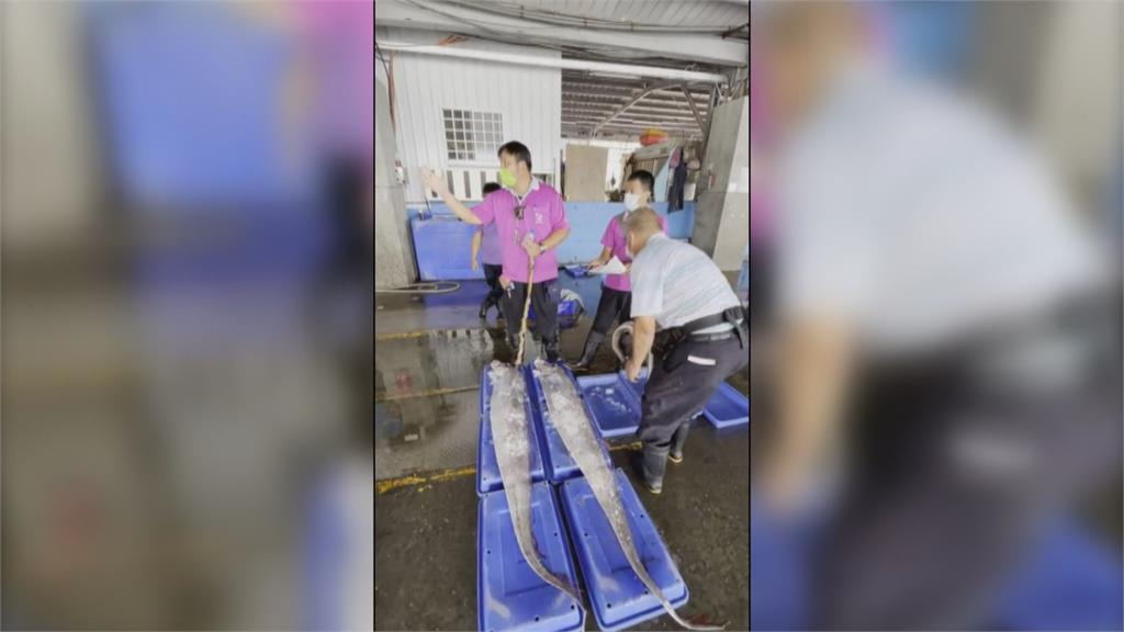 強震來襲?最長2.29公尺! 台東漁民捕獲三條地震魚