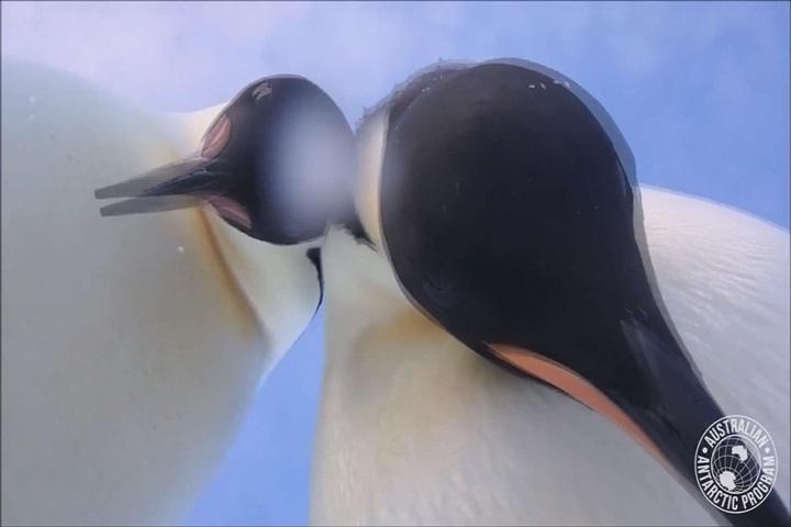 好療癒!南極生態記錄意外捕捉「企鵝自拍」