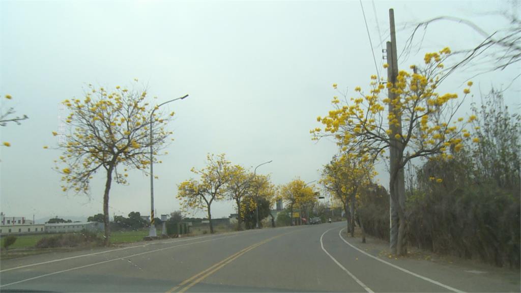 雲林元長鄉種樹美化環境 農民「曬花生」嫌樹遮光動手砍樹