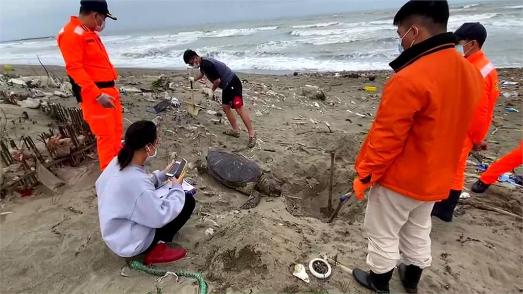 苗栗外埔漁港沙灘 驚見綠蠵龜暴斃