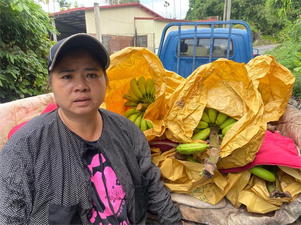 快新聞/香蕉價格持續低落政府收購餵豬牛 蕉農無奈嘆:不知該怎麼辦
