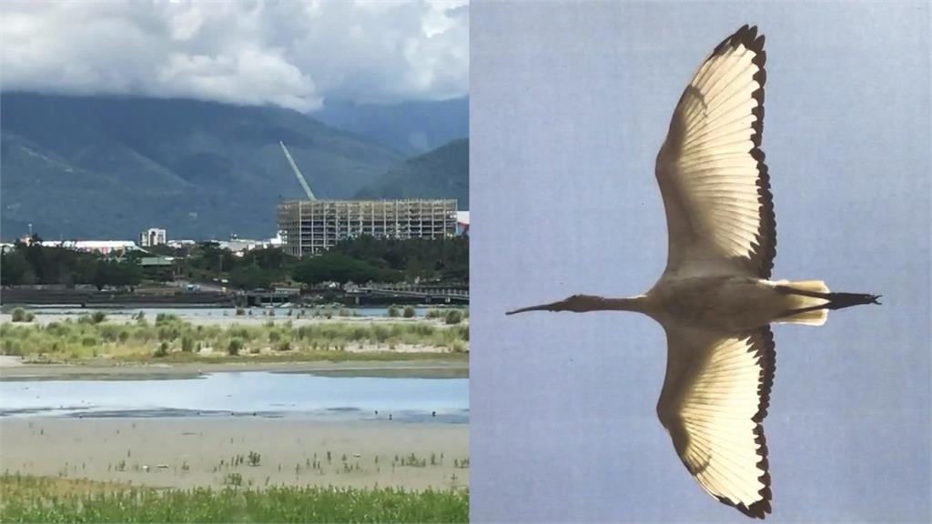 外來鳥種「埃及聖䴉」現蹤花蓮!林務局發出緊急追緝令