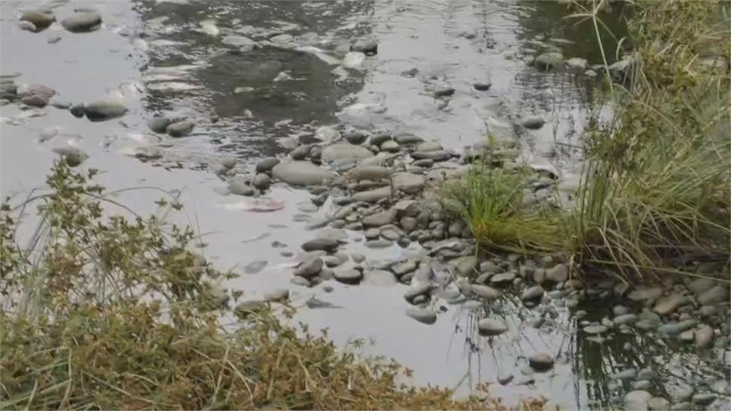 乾旱溶氧量不足 豆子埔溪水面漂近百隻死魚